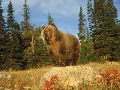 Grizzly Bear on Rock in Grassy Field, MT-Guy Crittenden-Photographic Print