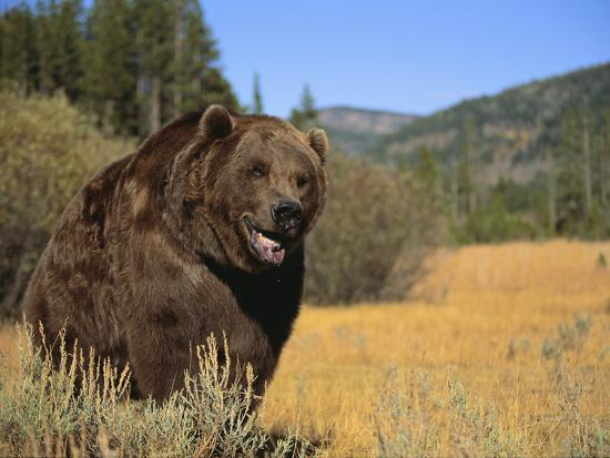Grizzly Bear Roaming in Mountain Meadow-DLILLC-Photographic Print