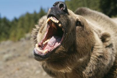 Grizzly Bear Roars at Camera--Photographic Print