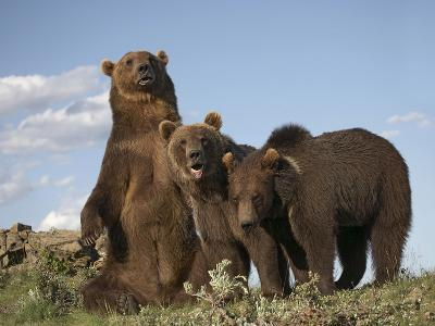 Grizzly Bear Sitting with Her Cubs, Montana, Usa-Tim Fitzharris-Photographic Print