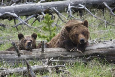 https://imgc.artprintimages.com/img/print/grizzly-bear-sow-and-cub_u-l-q1cz9vn0.jpg?p=0