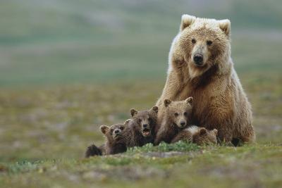 Grizzly Bear Sow with 4 Young Cubs Near Moraine Creek Katmai National Park Southwest Alaska Summer-Design Pics Inc-Photographic Print