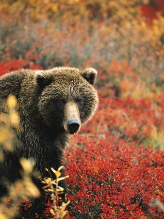 Grizzly Bear Standing Amongst Alpine Blueberries, Denali ...