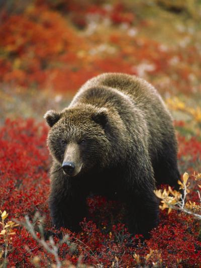Grizzly Bear Standing Amongst Alpine Blueberries, Denali National Park, Alaska, USA-Hugh Rose-Photographic Print