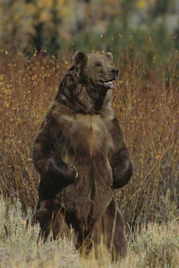 Grizzly Bear Standing in Meadow-DLILLC-Photographic Print