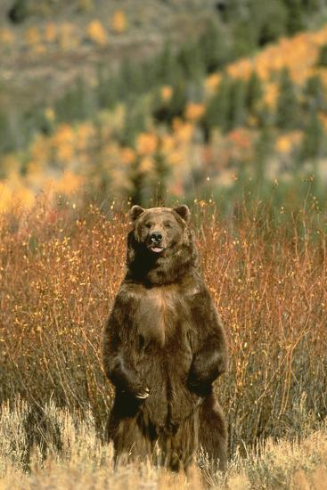 Grizzly Bear Standing-DLILLC-Photographic Print