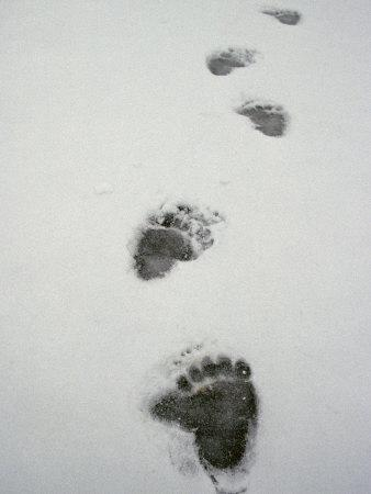 Grizzly Bear Tracks in the Snow-Michael S^ Quinton-Photographic Print