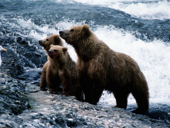 Grizzly Bear, Ursus Arctos, Cubs, Mcneil River, Alaska, Usa-Jeff Foott-Photographic Print