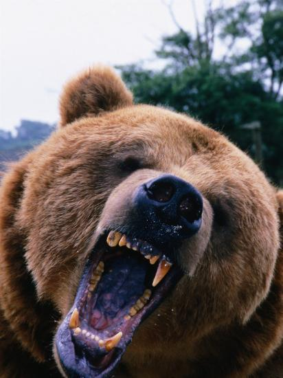 Grizzly Bear (Ursus Arctos), Denali National Park & Preserve, Alaska, USA-Mark Newman-Photographic Print