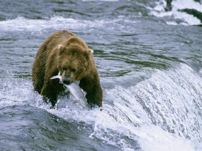 Grizzly Bear (Ursus Arctos) Fishing at Brook Falls, Katmai National Park, Alaska-Rich Reid-Photographic Print
