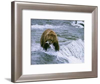 Grizzly Bear (Ursus Arctos) Fishing at Brook Falls, Katmai National Park, Alaska-Rich Reid-Framed Photographic Print