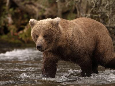 Grizzly Bear (Ursus Arctos) Fishing for Salmon in a Stream, Alaska, USA-Dave Watts-Photographic Print