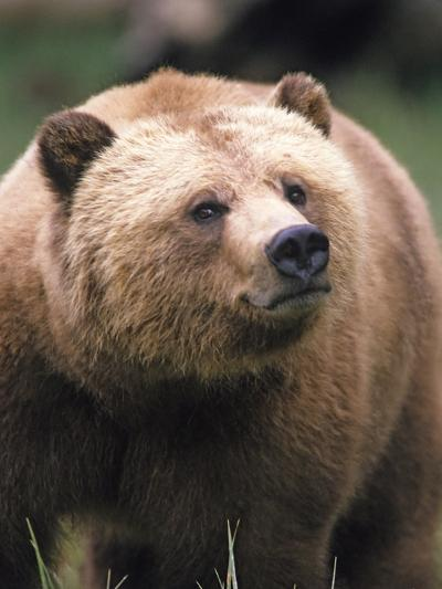Grizzly Bear (Ursus Arctos), Glendale Cove, Knight Inlet, British Columbia, Canada.-Keith Douglas-Photographic Print