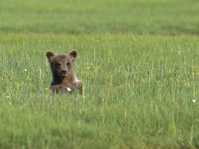 https://imgc.artprintimages.com/img/print/grizzly-bear-ursus-arctos-horribilis-cub-in-sedge-grass-katmai-nat-l-park-alaska_u-l-peud7i0.jpg?p=0