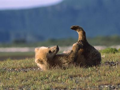 https://imgc.artprintimages.com/img/print/grizzly-bear-ursus-arctos-horribilis-cub-playing-katmai-nat-l-park-alaska_u-l-peud9m0.jpg?p=0