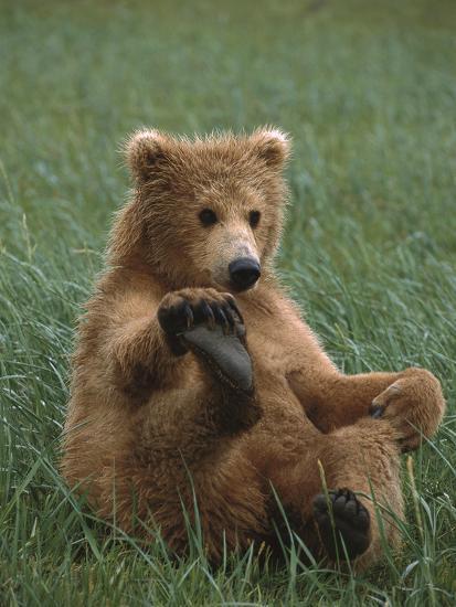 Grizzly Bear (Ursus Arctos Horribilis) Cub Playing, Katmai Nat'l Park, Alaska-Suzi Eszterhas/Minden Pictures-Photographic Print
