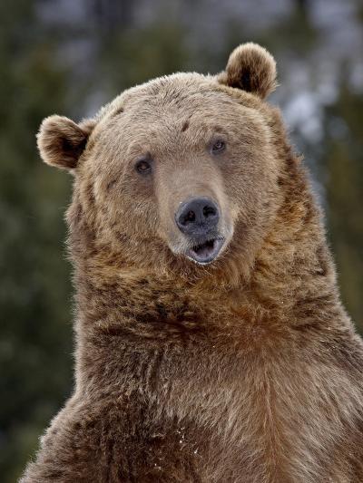 Grizzly Bear (Ursus Arctos Horribilis) in Captivity, Near Bozeman, Montana, USA-James Hager-Photographic Print
