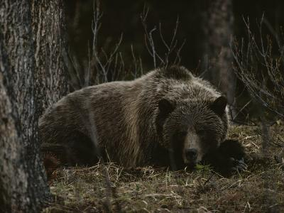 Grizzly Bear (Ursus Arctos Horribilis) Lying Down in the Woods-Michael S^ Quinton-Photographic Print