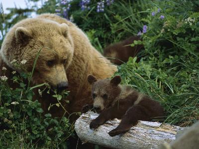 Grizzly Bear (Ursus Arctos Horribilis) Mother and Cubs, Katmai Nat'l Park, Alaska-Suzi Eszterhas/Minden Pictures-Photographic Print