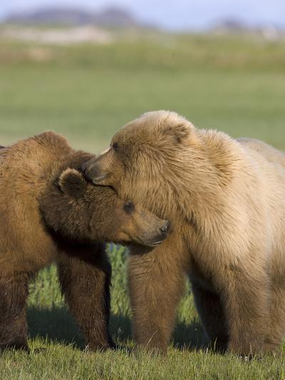 Grizzly Bear (Ursus Arctos Horribilis) Pair Courting, Katmai Nat'l Park, Alaska-Suzi Eszterhas/Minden Pictures-Photographic Print