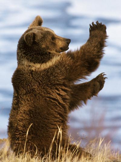 Grizzly Bear (Ursus Arctos Horribilis) Playing, Montana-Konrad Wothe-Photographic Print