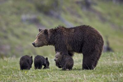 Grizzly Bear (Ursus Arctos Horribilis) Sow and Three Cubs of the Year, Yellowstone National Park-James Hager-Photographic Print