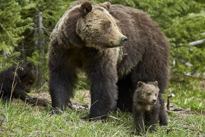 Grizzly Bear (Ursus Arctos Horribilis) Sow and Two Cubs of the Year, Yellowstone National Park-James Hager-Photographic Print