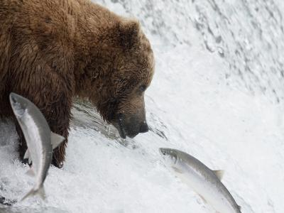 Grizzly Bear (Ursus Arctos Horribilis) Trying to Catch Salmon as They Leap the Falls-Hal Beral-Photographic Print