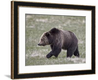 Grizzly Bear (Ursus Arctos Horribilis) Walking, Yellowstone National Park, Wyoming, USA-James Hager-Framed Photographic Print