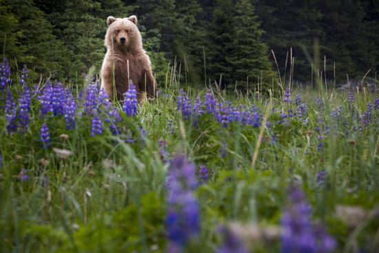 Grizzly Bear (Ursus Arctos Horribilis) With Lupines, Lake Clark National Park, Alaska-Jay Goodrich-Photographic Print