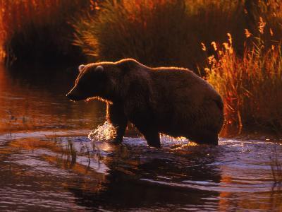 Grizzly Bear, Ursus Arctos Middendorffi, AK-D^ Robert Franz-Photographic Print