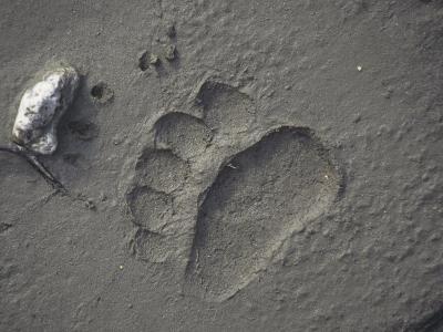 Grizzly Bear (Ursus Arctos) Track in Mud, Alaska, USA-Tom Walker-Photographic Print
