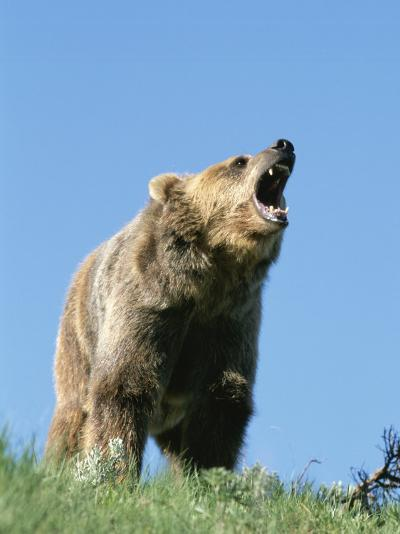 Grizzly Bear Vocalizing-Norbert Rosing-Photographic Print