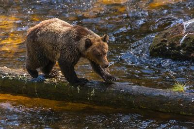 Grizzly Bear Watching for Salmon, Tongass National Forest Alaska, USA-Jaynes Gallery-Photographic Print