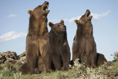 Grizzly Bear with Cubs, Montana, Usa-Tim Fitzharris-Photographic Print