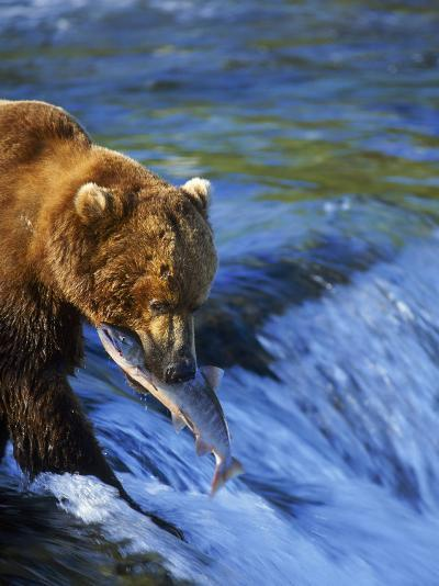 Grizzly Bear with Salmon, Brooks Falls, Katmai, AK-Kyle Krause-Photographic Print