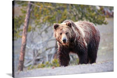 Grizzly Bear Yellowstone Park--Stretched Canvas Print