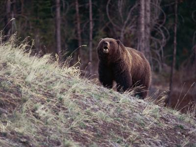 Grizzly Bear-Bobby Model-Photographic Print
