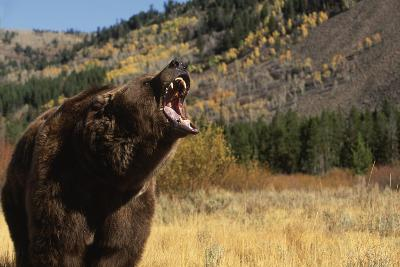 Grizzly Bear-DLILLC-Photographic Print