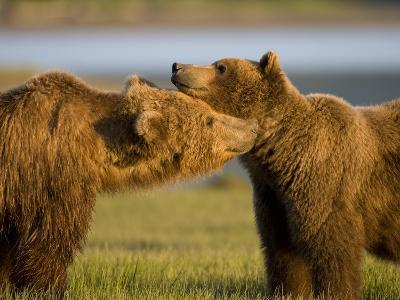 Grizzly Bears Greeting Each Other in Meadow at Hallo Bay-Paul Souders-Photographic Print