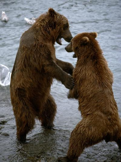 Grizzly Bears Play Fighting-Jeff Foott-Photographic Print
