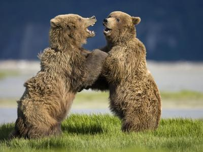 Grizzly Bears Sparring at Hallo Bay in Katmai National Park-Paul Souders-Photographic Print