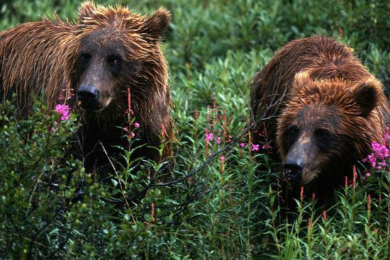 Grizzly Bears, Ursus Arctos-Cagan Sekercioglu-Photographic Print