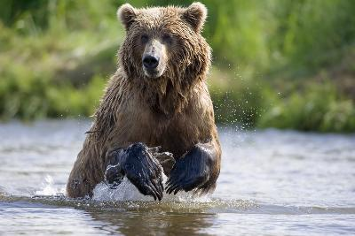 Grizzly Chasing Salmon in River During Summer Months in Alaska-Design Pics Inc-Photographic Print