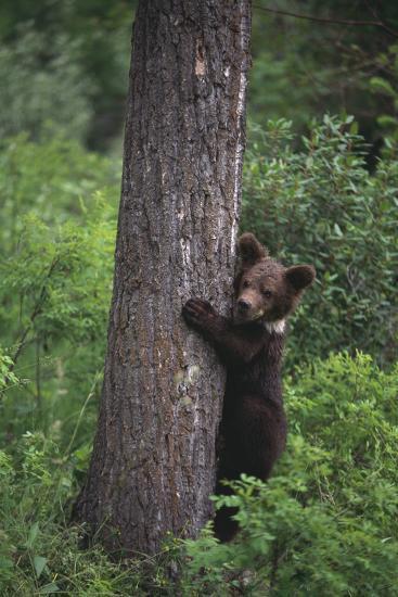 Grizzly Cub on Tree-DLILLC-Photographic Print