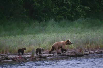 Grizzly Cubs with Mother by River-DLILLC-Photographic Print