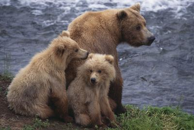 https://imgc.artprintimages.com/img/print/grizzly-cubs-with-mother-by-river_u-l-pzr0450.jpg?p=0