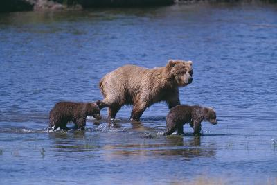 Grizzly Cubs with Mother in River-DLILLC-Photographic Print