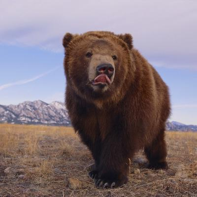 Grizzly Licking Its Chops--Photographic Print