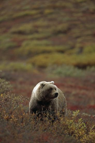 Grizzly on Autumn Tundra Highway Pass Denali Np Ak In-Design Pics Inc-Photographic Print
